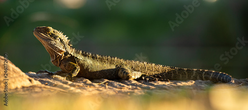 Water Dragon outside during the day in the late afternoon.