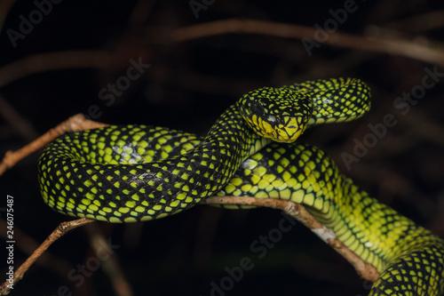 Venomous pitviper (Trimeresurus sumatranus malcolmi) , Nature close-up image of Canvas Print