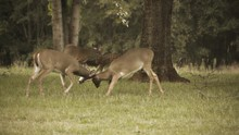 Two White Tail Buck Battle Faw...