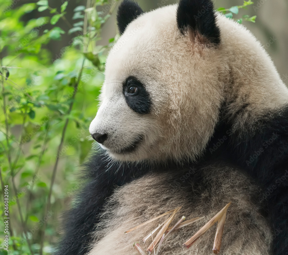 panda on nature background. Wild Animals.