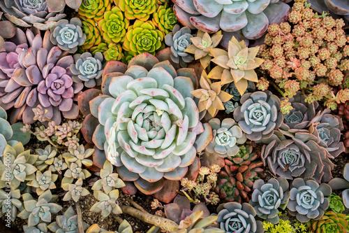 Fototapeta Miniature succulent plants (succulent cactus) at the garden obraz