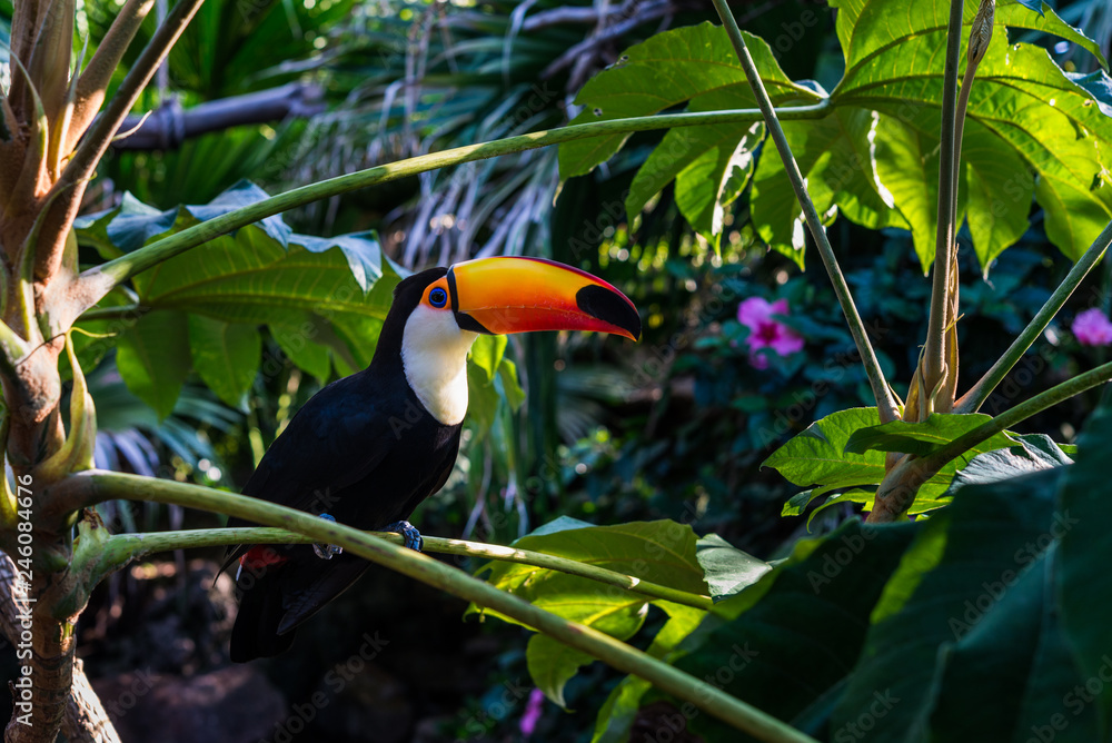 Fototapeta Toucan tropical bird sitting on a tree branch in natural wildlife environment in rainforest jungle
