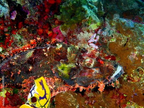 Fototapety, obrazy: Scorpionfish
