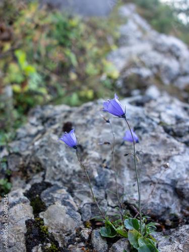 Aluminium Prints Railroad Purple wildflower on rocky outcrop