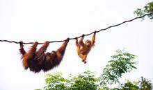 A Pair Of Orangutan At Play On...