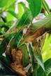 Nest of ants on a mango tree