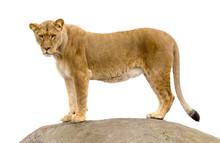 Lioness Standing On A Rock