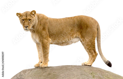 Lioness standing on a rock Canvas Print