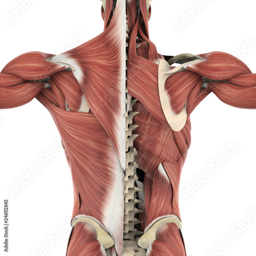 Fotografie, Obraz  Muscles of the Back Anatomy