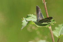 A Beautiful Purple Hairstreak Butterfly (Favonius Quercus) Perched On A Leaf.