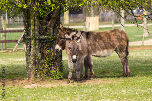 two funny donkeys in the petting zoo