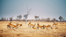 Gruppe Roter Letschwe Antilope...