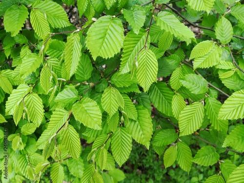 Fotografie, Obraz beech leaves foliage