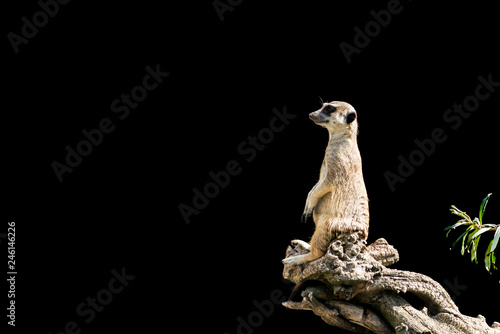 Canvas Print The meerkat sits on a tree branch with a funny expression