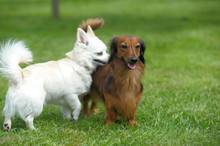 Dachshund And Chihuahua Play O...