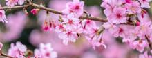 Beautiful Cherry Blossoms Saku...
