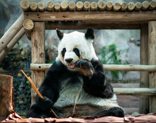 Panda Sitting, And Eating Bamb...