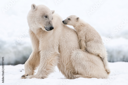 Photo sur Toile Ours Blanc Polar bear, northern arctic predator
