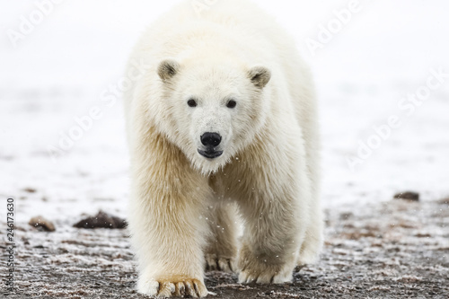 Photo sur Aluminium Ours Blanc Polar bear, northern arctic predator