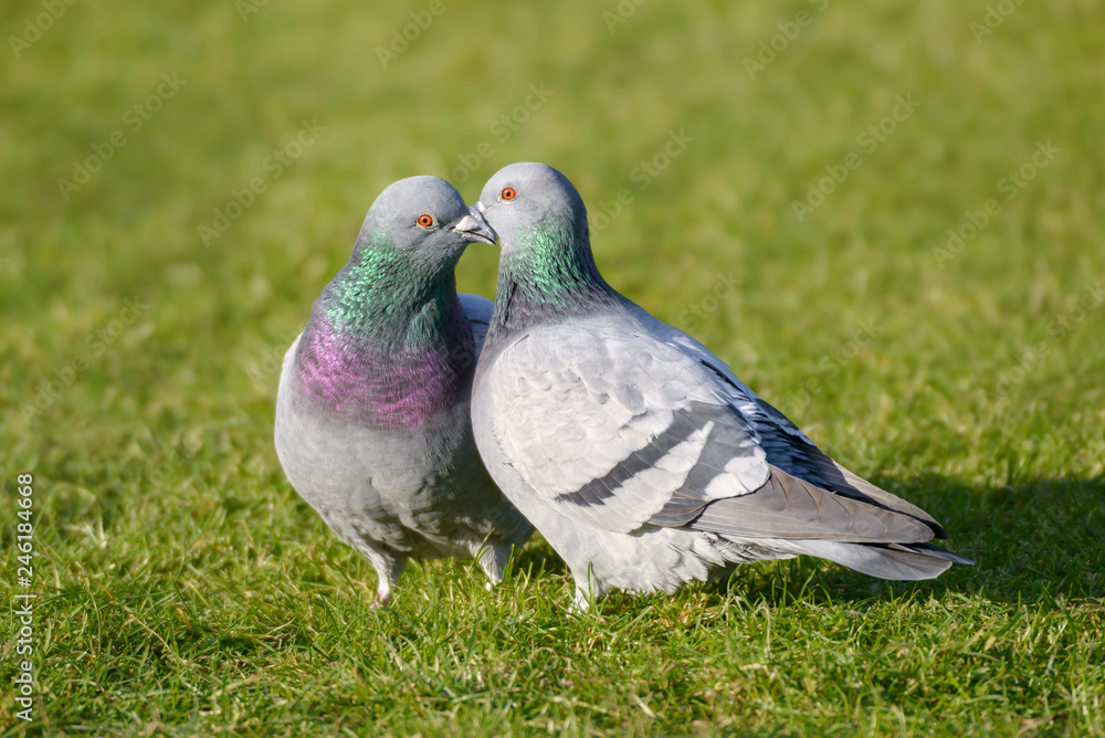 Two feral pigeons, street pigeons (Columba livia domestica), billing and cooing