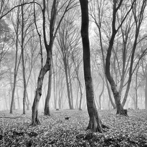 Foggy Forest in Autumn, Black and White