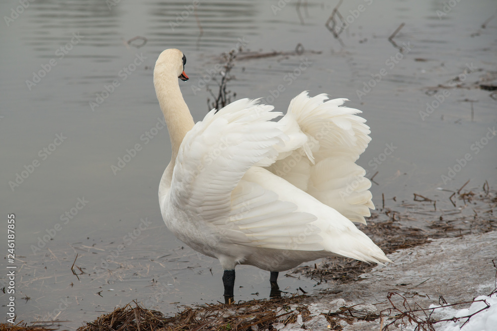 Swan On a Lake On a Winter Day
