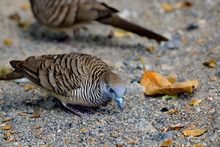 Dove Walks For Food On The Outdoor Road.