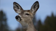Deer Sniffing The Air