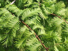 Branches Of The Dawn Redwood, Metasequoia Glyptostroboides