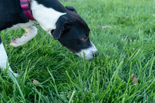 Black And White Dog Sniffing The Grass.