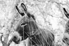 Black And White Mini Donkey On Farm Shows Animal Portrait Of Burro.