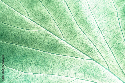 Poster Squelette décoratif de lame Light green leaf up close