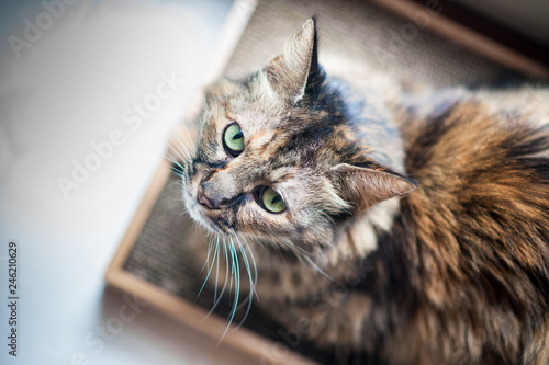portrait of cat with green eyes overhead