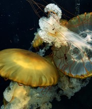Jellyfish Yellow, Similar To Mushroom