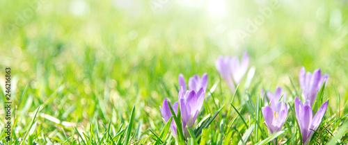 Keuken foto achterwand Krokussen Banner oder Hintergrund mit Textfreiraum für Frühling, Ostern