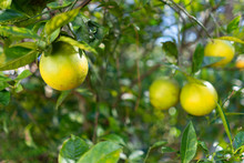 Unripe Oranges On A Tree