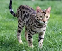 Kitten Of Breed Savannah Stand...