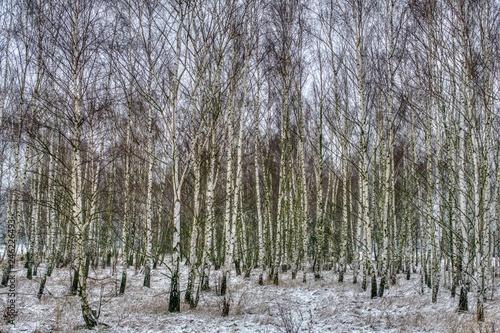 gęsty brzozowy zagajnik zimową porą przysypany śniegiem - 246226493