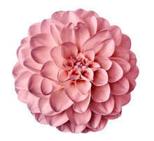 Pink  Flower Dahlia  On A White  Background Isolated  With Clipping Path. Closeup.  For Design. Dahlia.