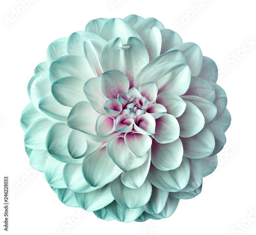 Cuadros en Lienzo white-turquoise  flower dahlia  on a white  background isolated  with clipping path