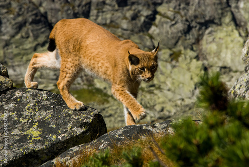 Foto auf Leinwand Luchs Lynx climbing a rocks in mountain