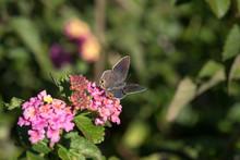 Macro Tiny Hairstreak Butterfl...