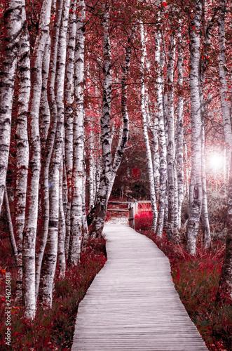 Fototapeta park birkenwald-im-schwarzwald-rot-pink