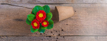 Primrose Primula Vulgaris, Red And Yellow Garden Flowers, Potted, Rustic Wooden Background, Spring Postcard, Banner
