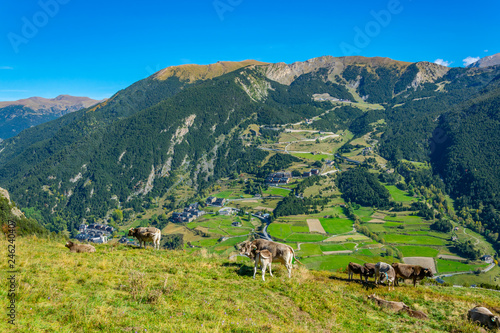 cows are grazing on slopes of pyrenees mountians in andorra Wallpaper Mural