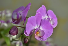 Beautiful Orchid Flowers Bloom In The Room