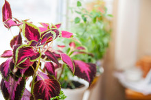 Beautiful Flower Coleus With L...