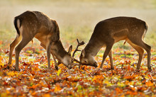 Two Young Male Fallow Deer Fighting During Rut