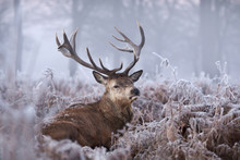 Close-up Of A Red Deer Stag In...