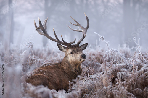 Foto op Aluminium Hert Close-up of a red deer stag in winter